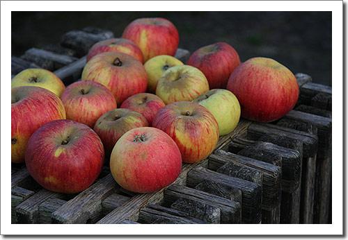Äpfel in Farbe
