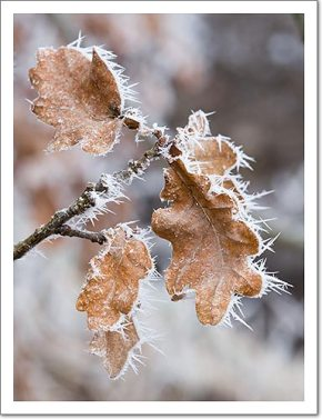 Oak leaves covered with white frost