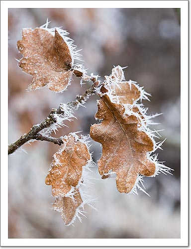 Beech leaves covered with white frost